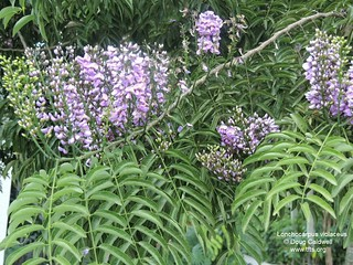 Lonchocarpus violaceus flowers | by tftsmiami