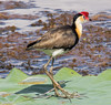 Comb-Crested Jacana (Irediparra gallinacea) (adult).02 by Geoff Whalan