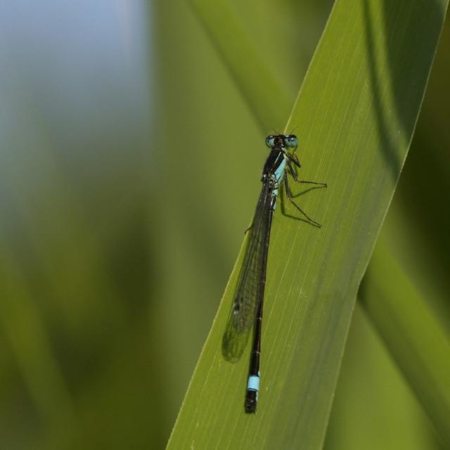 waterjuffer - damsel fly 2