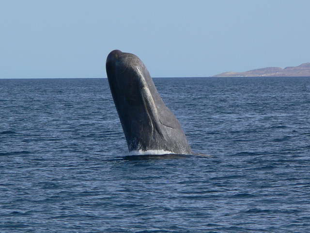 Sperm Whale Spyhopping Baja California