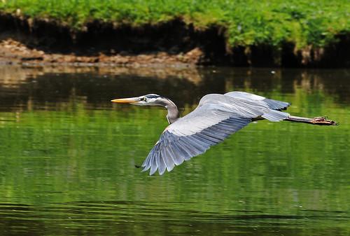 ohio bird nature nikon wildlife greatblueheron d300 ardeaherodias gbh wadingbirds supershot nikkor70300vr avianexcellence clintonohio summitcountyohio