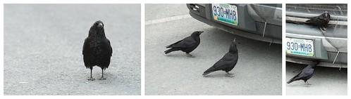 Northwestern Crows | by Gavatron