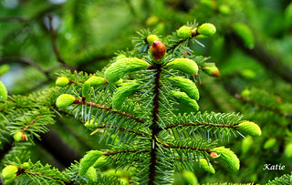 New Spring Growth on a Evergreen Tree | by mikeyskatie