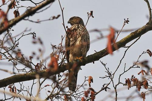 One Legged Coopers Hawk
