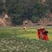 Women carry bundles on their backs through a field