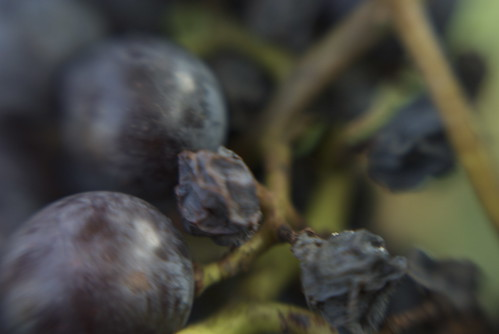 Wine Grapes and Raisins 1 | by Otto Phokus