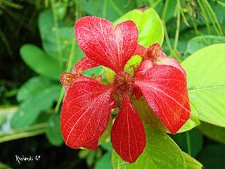 Red mussaenda | by *Amanda Richards