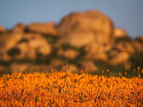 california sunset golden riverside mount poppies 2009 booger fiddleneck rubidoux muzzlehatch anawesomeshot