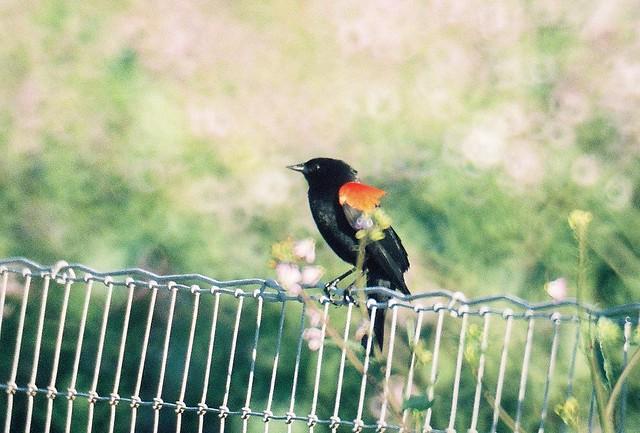 Red winged Blackbird AM 2