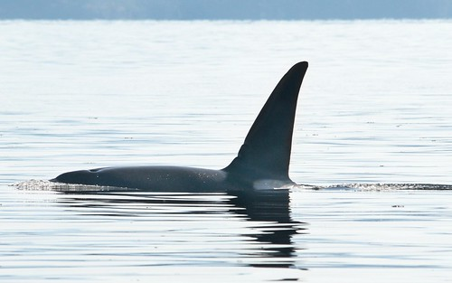 Surfaced Orca I | by A.Davey