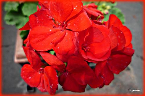 El rojo intenso que nos regala la naturaleza.... P1060285