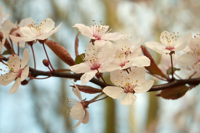 imgp8471 - Pink Blossom