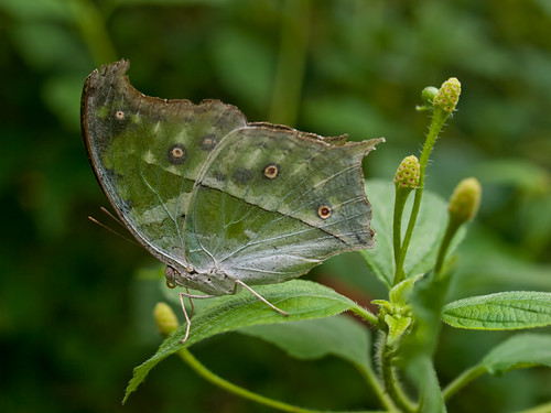 Clouded Mother of Pearl Butterfly | by wwarby