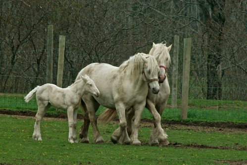 American Cream Draft Horse family, the only horses native to north america.  They look all chummy and innocent in this picture, just wait till picture three