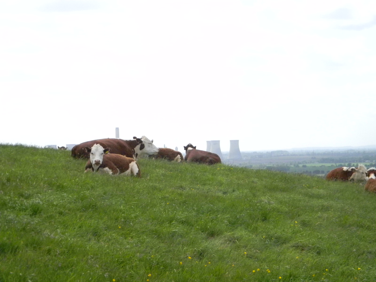 Clump cows Appleford Circular