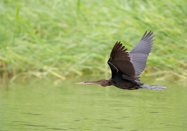 Darter, Anhinga melanogaster, Msuna Fishing Resort, Zambezi River, Zimbabwe4
