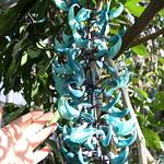 Blue Jade Vine 翡翠 蔓 ひすい かずら