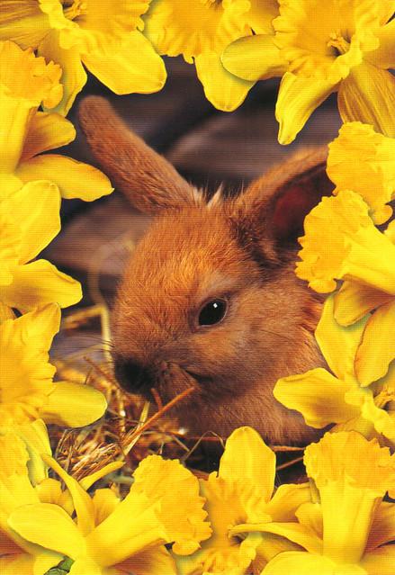 Baby Bunny Rabbit Postcard