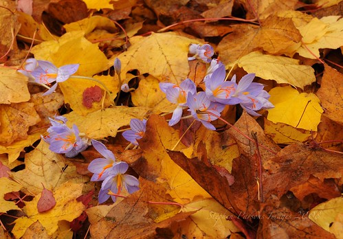 Fall Crocus in the Maple Leaves | by Wandering Sagebrush