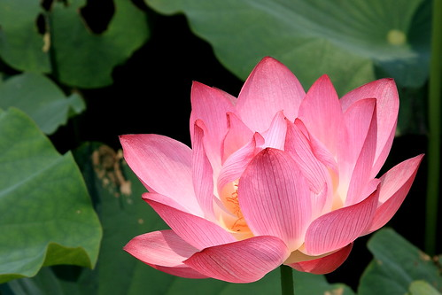 Blossom Lotus   by KoKong 果剛