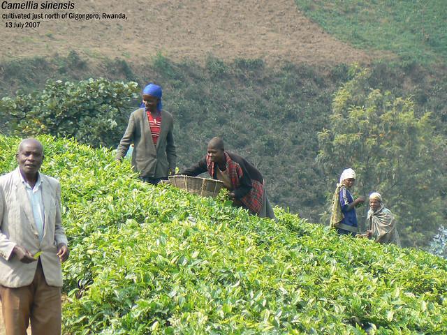Camellia sinensis - just N. of Gigongoro, Rwanda, 13 Jul 2007 Henk