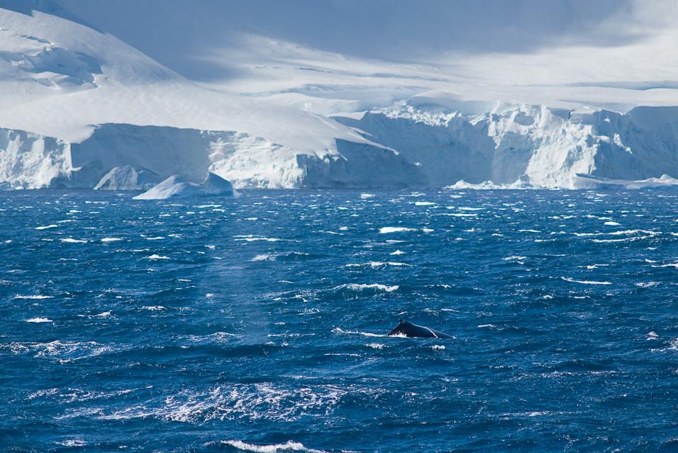 Antarctic Cetacean