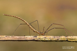 Twig-like comb-footed spider (Ariamnes sp.) - ESC_0054