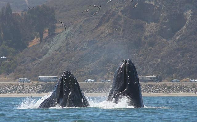 Humpback Whales lunge feeding at Avila Beach, California.