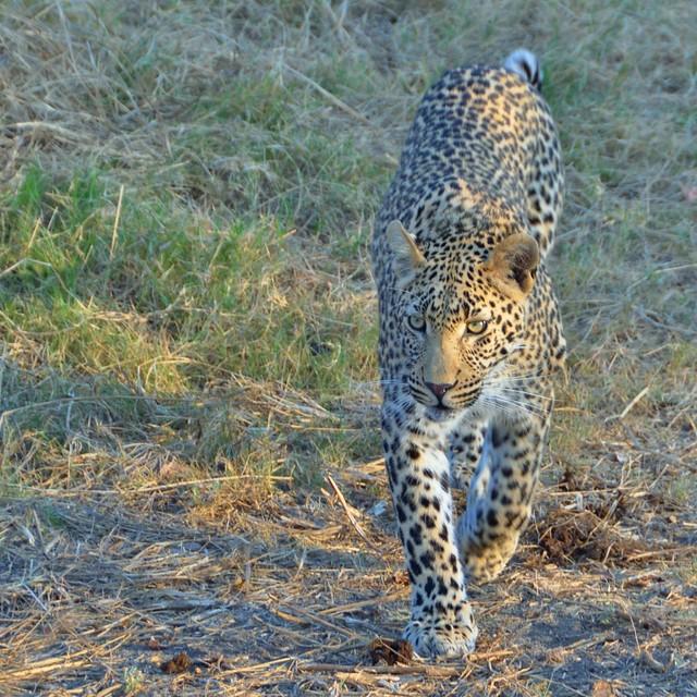 Leopard walking towards us...Sabi Sands