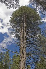 Lodgepole Pine Yosemite 126411