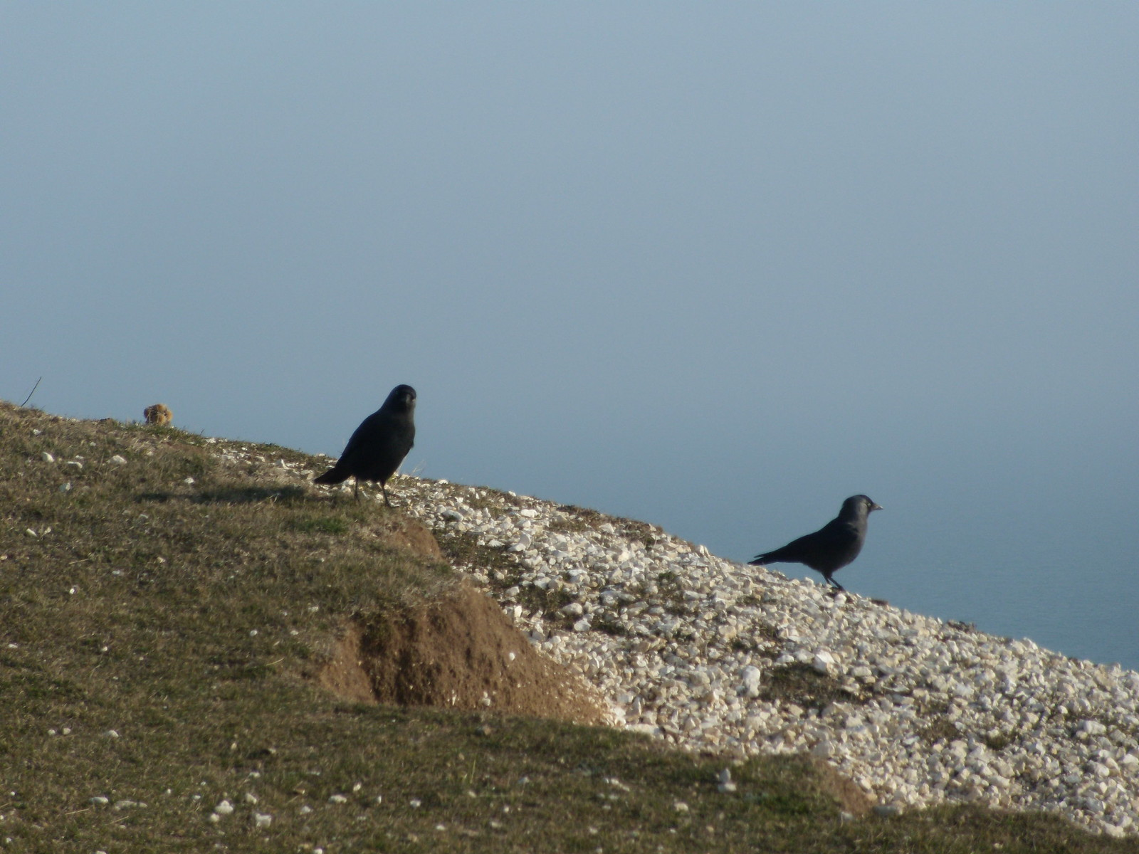 Birds Jackdaws? Seaford to Eastbourne