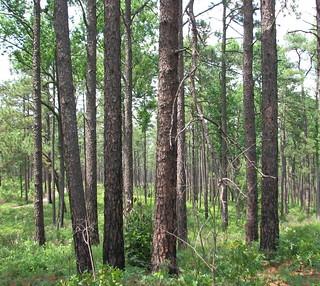 Trees Weymouth Woods NC SP 0175