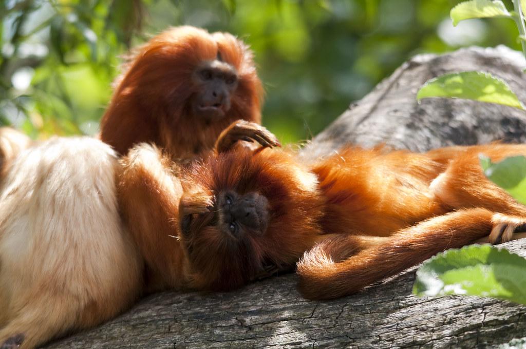 Golden Lion Tamarins grooming