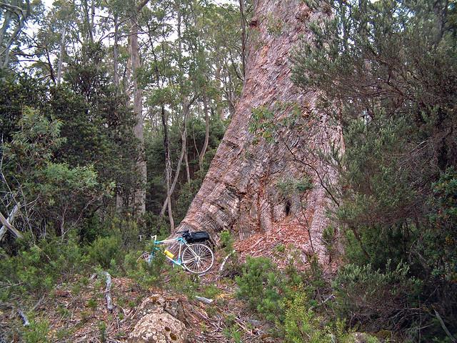 Bike and tree, Derwent Forest, Tasmania