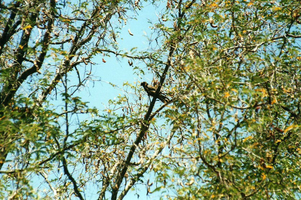 Vasa Parrot (Coracopsis vasa) | Kaleta Reserve, near Amboasa… | Flickr