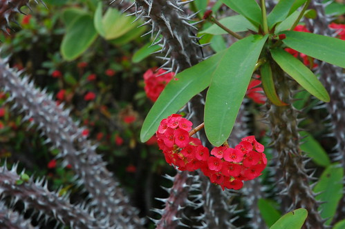Crown of Thorns, white spiked cactus with little red flower bunches, green leaves, Meditation Garden - Self-Realization Fellowship, Encinitas, California, USA | by Wonderlane