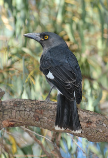 PIED CURRAWONG Strepera graculina | by beeater
