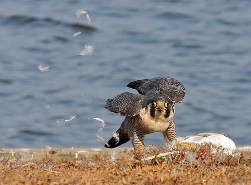 ocean winter bird birds gull raptor shore silverlake falcon prey delaware predator visualart raptors rehobothbeach peregrine birdwatcher ringbilledgull peregrinefalcon impressedbeauty
