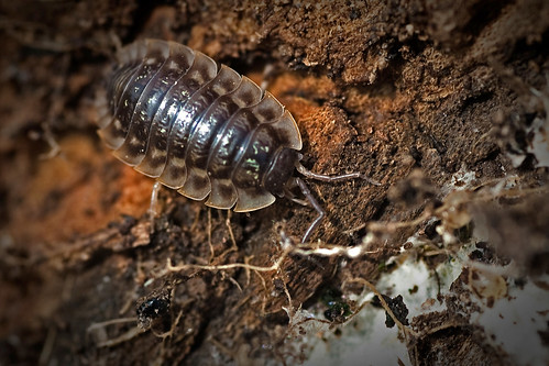 Woodlouse   by me'nthedogs
