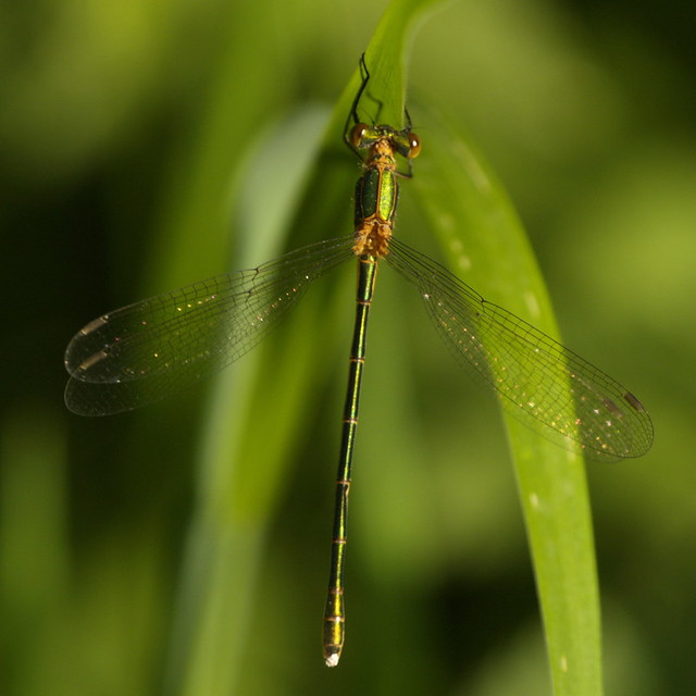 waterjuffer - damsel fly 4