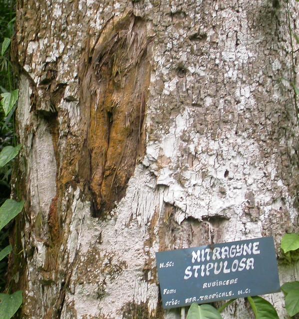 Fleroya stipulosa bark