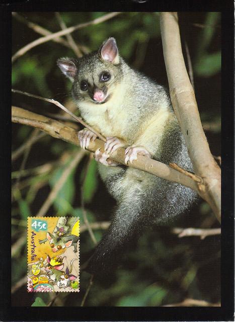 Australia Maxi Common Bushtail Possum Postcard
