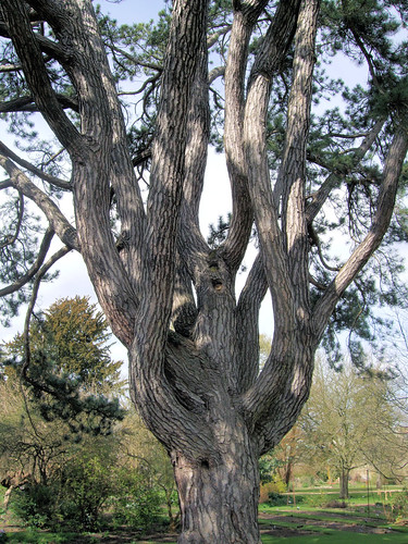 Tolkien's Favorite Tree, Oxford Botanical Garden. | by Jim Linwood
