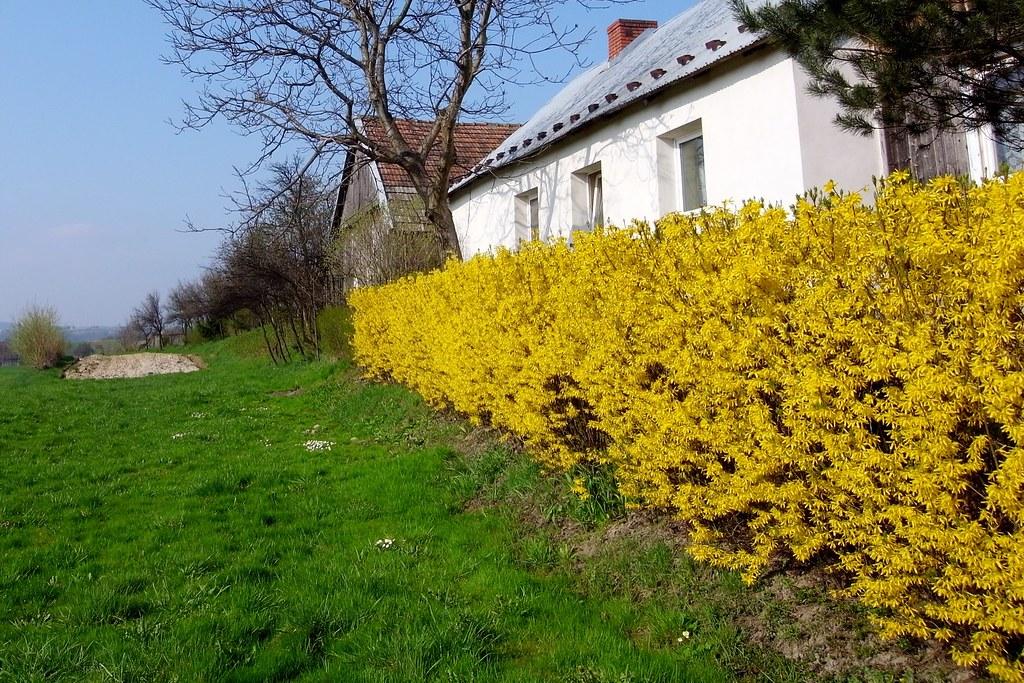 Żółty żywopłot / Yellow hedge