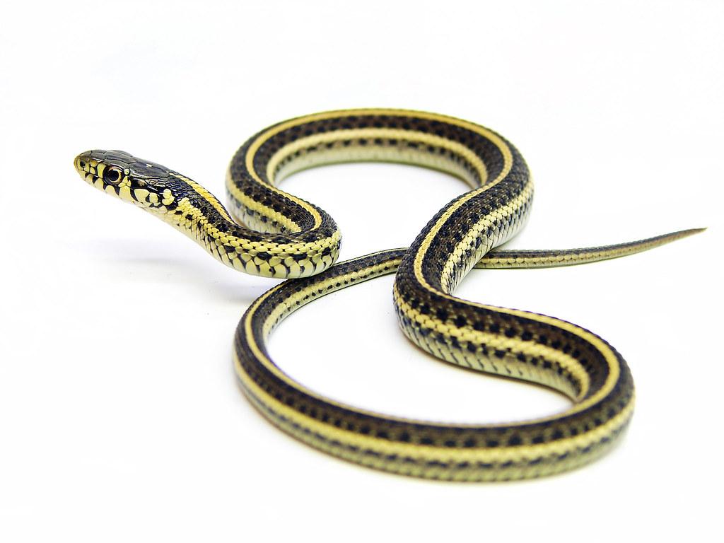 Quelle est la différence entre un serpent de jardin et un serpent jarretière?
