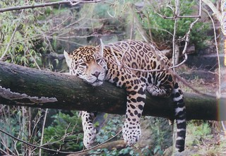 Jaguar - Relaxing | by zyggy32