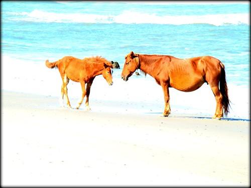 beach wildhorses outerbanksnc challengeyouwinner
