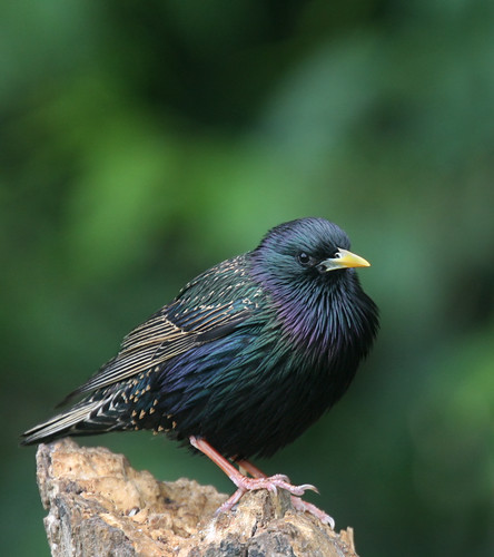 European Starling | by The Nature Nook