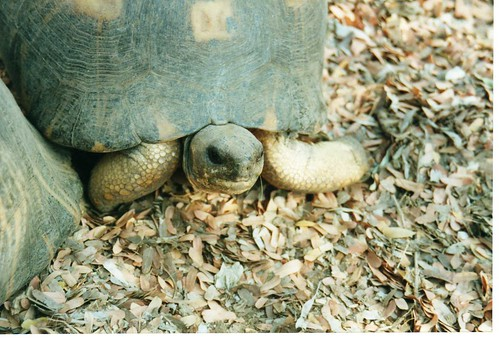 Radiated Tortoise | by wallygrom