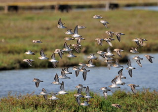 Flock of Terns flying over the Palo Alto Baylands | by donjd2